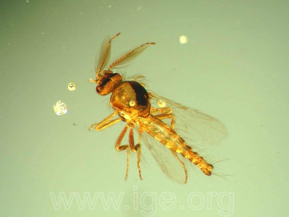 Copal colombiano con insecto