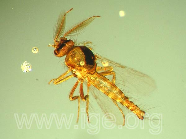 copal_insecto_colombia3a